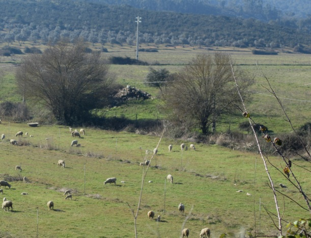 ovelhas no Montinho