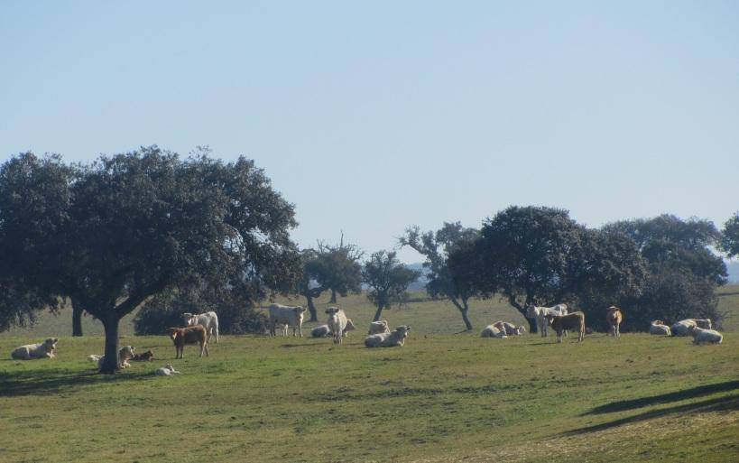 vacas alentejanas