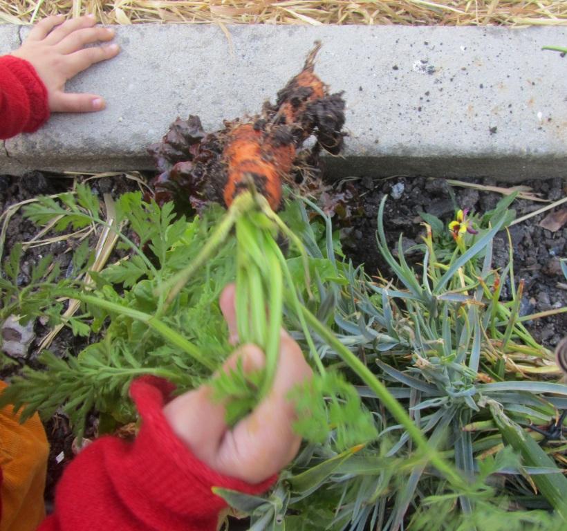 Arrancar cenouras da terra
