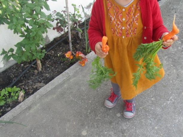 roer cenouras da terra
