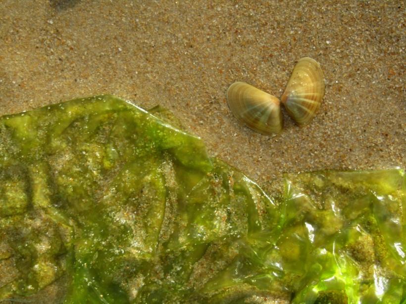 as conquilhas são as borboletas do mar